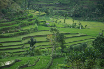 Rice flelds