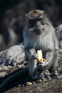 Monkey on Agung