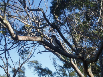 Kookaburra in the gum tree!
