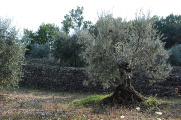 Olive tree in Tuscany